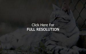 Pisică albă cu dungi negre